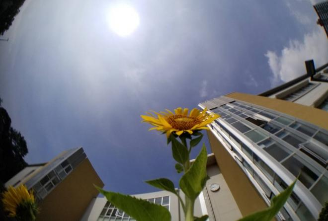 sunflower_bloom